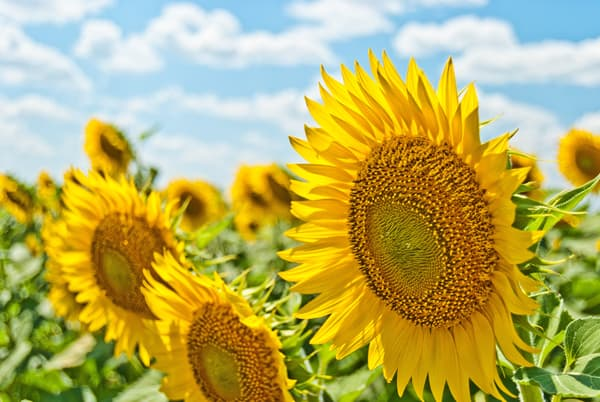 Summertime Sunflowers